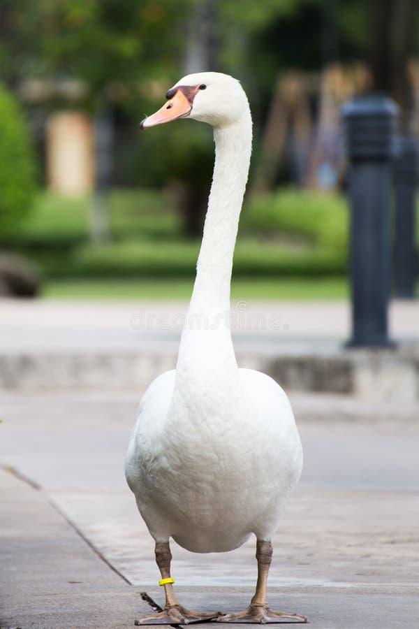 Cisne no parque imagens de stock royalty free