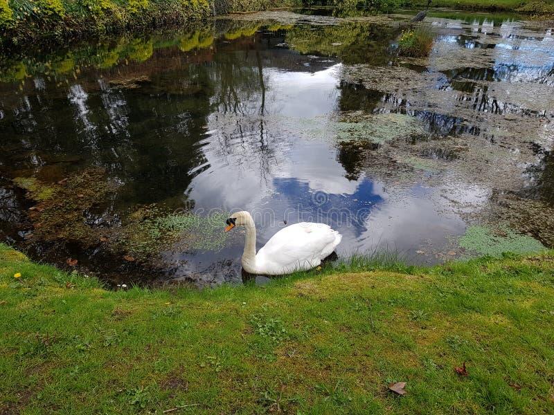 Cisne no parque nacional do parafuso prisioneiro irlandês foto de stock