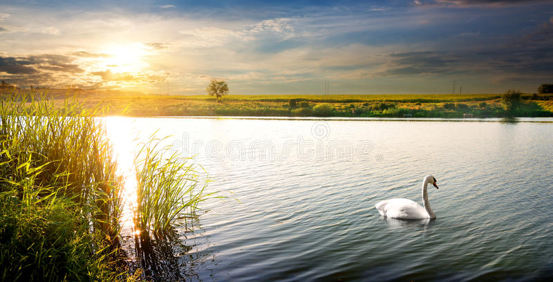 Cisne no por do sol fotos de stock royalty free