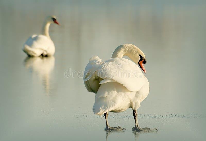 Cisne no sunet fotografia de stock royalty free