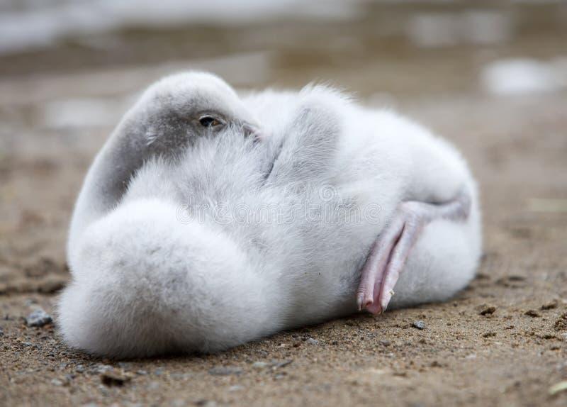 A cisne nova fotografia de stock