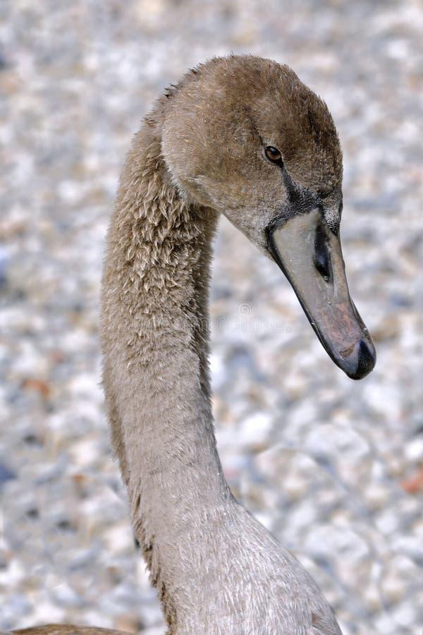 Cisne nova isolada fotografia de stock royalty free