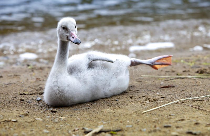 A cisne nova no banco do lago foto de stock
