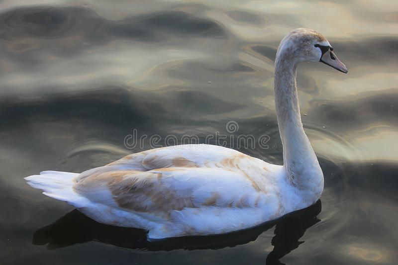 Cisne nova no lago foto de stock royalty free