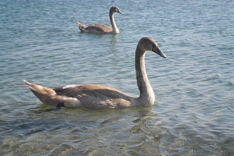 Cisne nova no lago Ohrid fotografia de stock