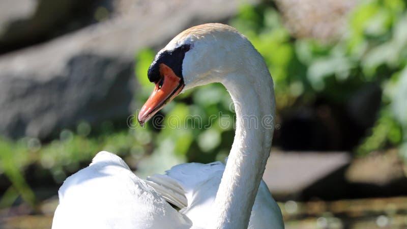 Cisne original com bebês em um lago, foto alta da definição deste aviário maravilhoso em Ámérica do Sul fotografia de stock royalty free