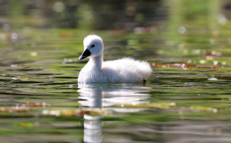 Cisne original em um lago, foto alta do bebê do cisne novo da definição deste aviário maravilhoso em Ámérica do Sul fotografia de stock royalty free