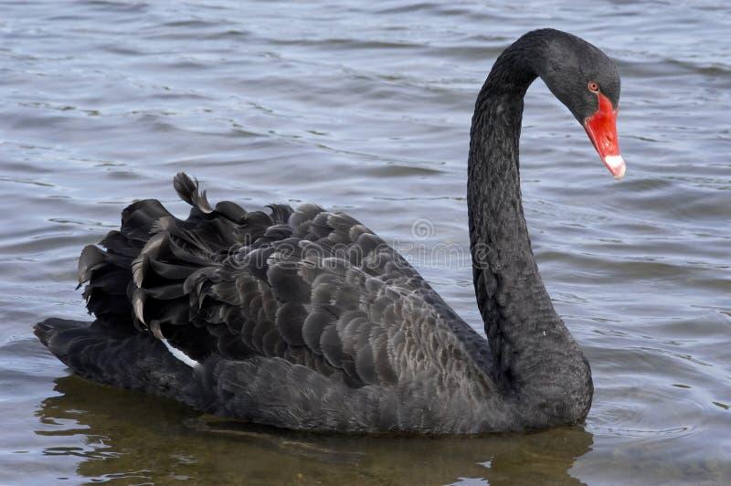 Download Cisne preta foto de stock. Imagem de pássaros, contas, lagos - 115104