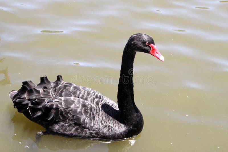 Cisne preta fotografia de stock royalty free