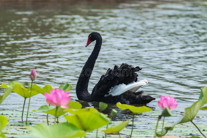 A cisne preta fotos de stock royalty free