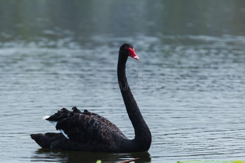 A cisne preta fotografia de stock