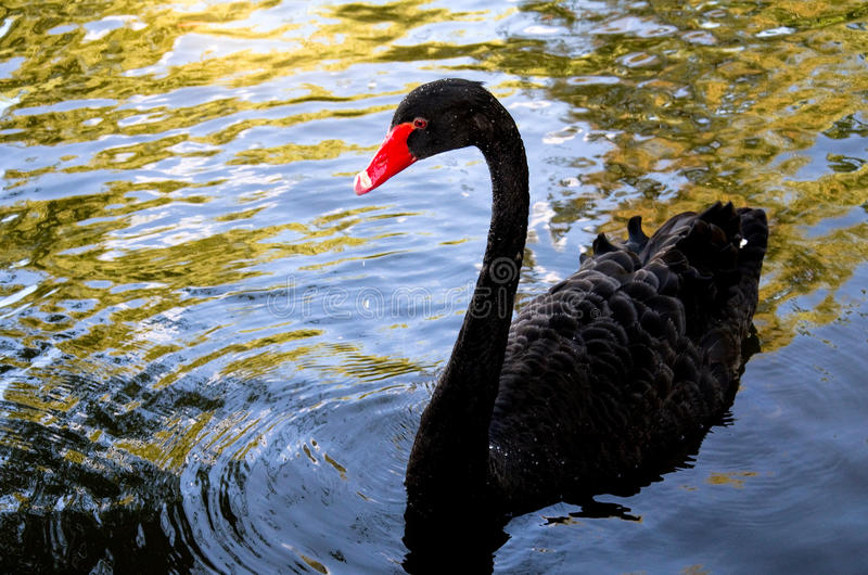 Cisne preta bonita fotos de stock royalty free