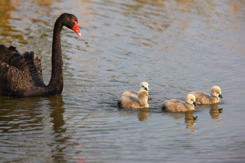 Cisne preta e seu bebê imagens de stock