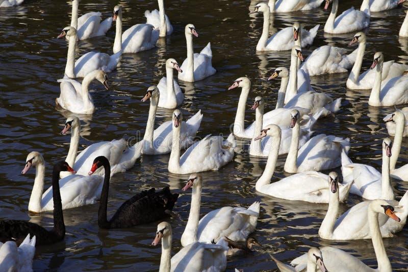 Cisne preto e branco fotos de stock