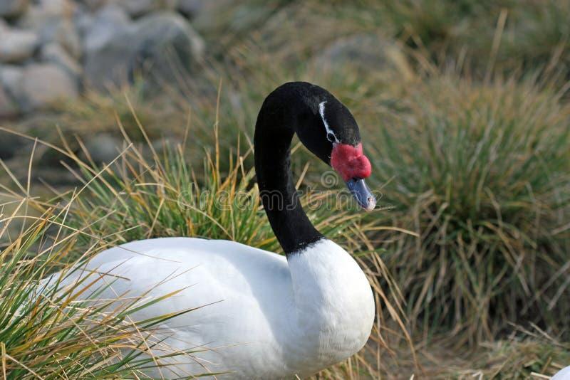 cisne Preto-necked imagem de stock royalty free