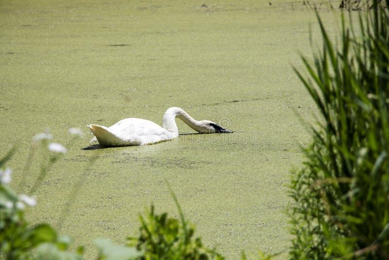 Cisne que alimenta en una charca en un día caliente fotos de archivo libres de regalías
