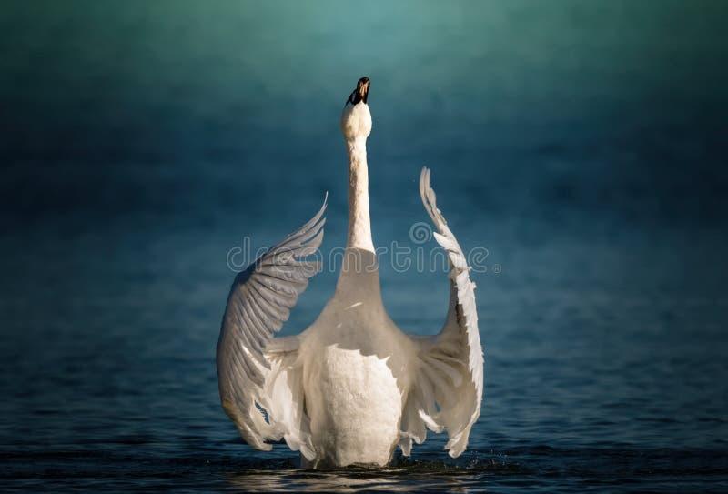 Cisne que bate graciosamente suas asas fotografia de stock