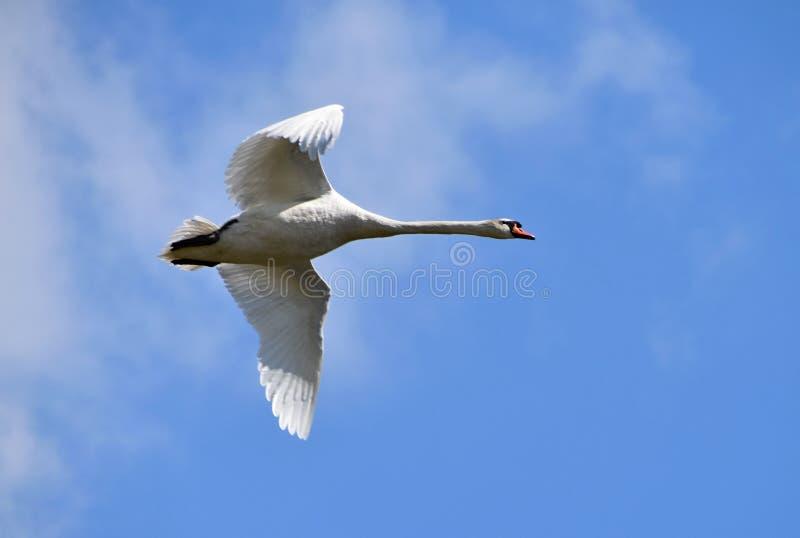 Cisne que circunda sobre o lago, céu do voo do fundo com nuvens fotos de stock royalty free