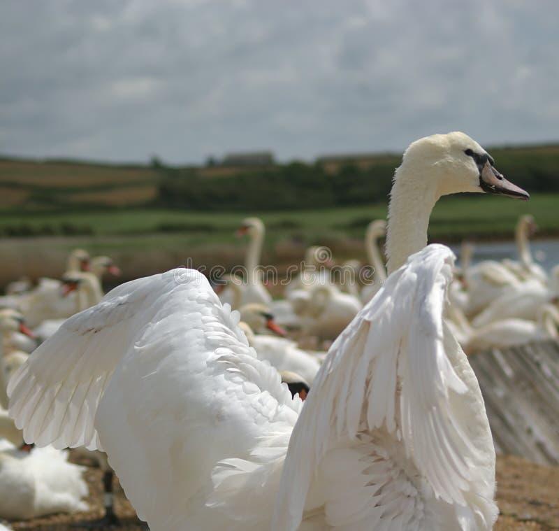 Cisne que dobla sus alas imágenes de archivo libres de regalías