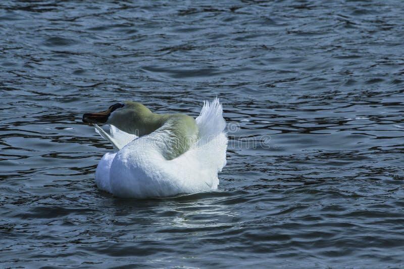 Cisne que enfeita-se no lago fotografia de stock