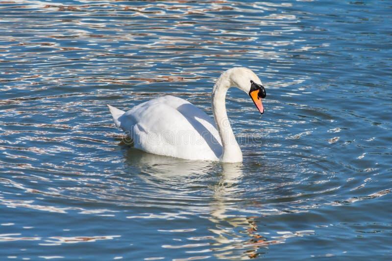 Cisne que flutua na água imagem de stock royalty free