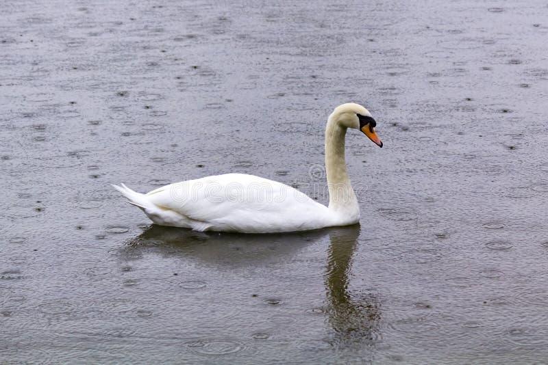 A cisne que flutua no invernos pond, na chuva imagem de stock royalty free