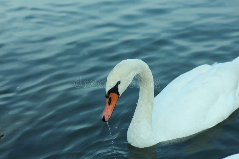 Cisne que obtém sua cabeça fora da água imagens de stock
