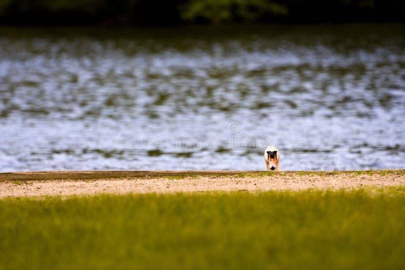 Cisne que oculta en el lago fotos de archivo