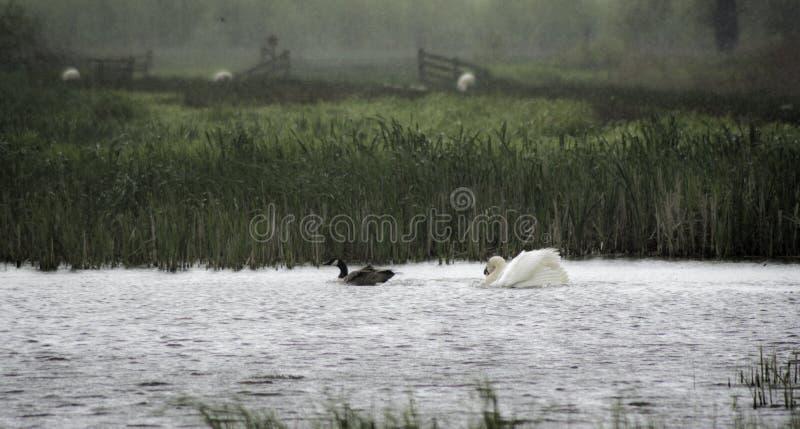 Cisne que persigue un ganso foto de archivo