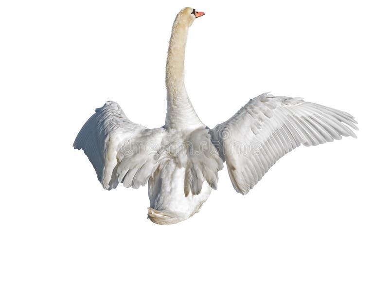 Cisne que separa sus alas en blanco imagen de archivo libre de regalías