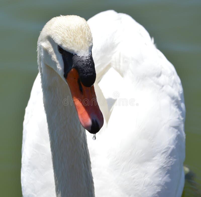 Cisne que toma uma bebida fotos de stock royalty free