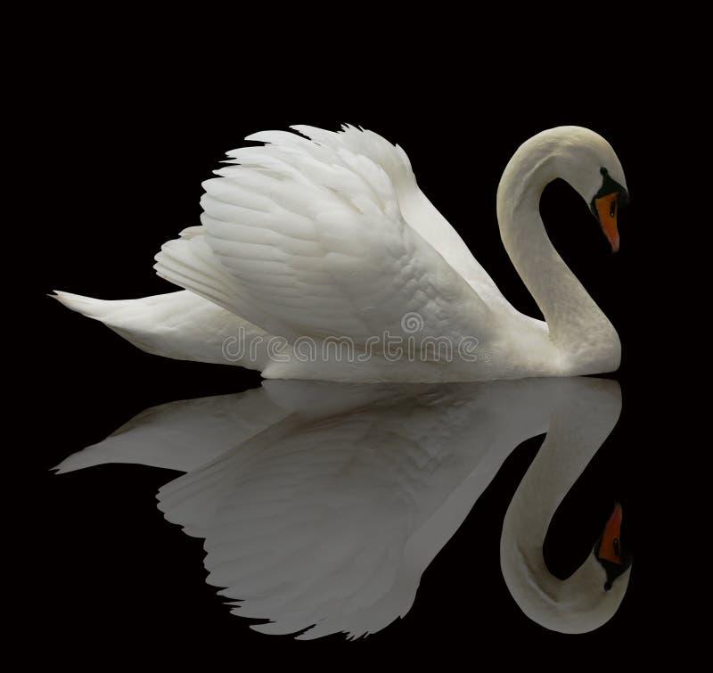Cisne reflejado fotografía de archivo