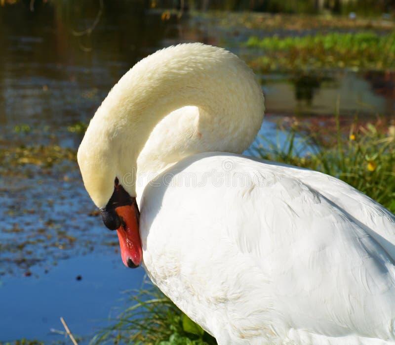 Cisne, retrato e penas brancos, imagem elegante romântica fotografia de stock