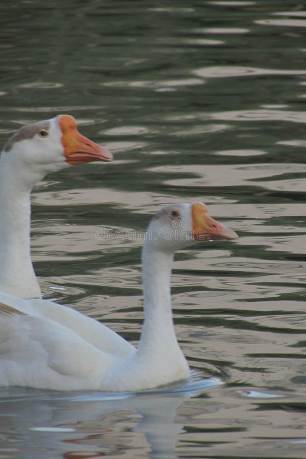 Cisne romântica imagens de stock