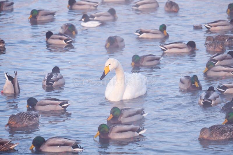 Cisne só entre patos na névoa no lago Svetloe do altai fotos de stock