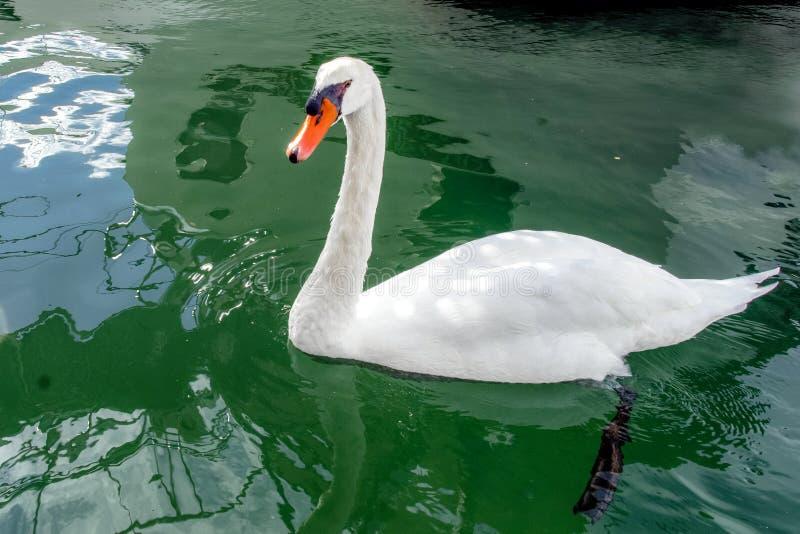 A cisne selvagem perto do iate está procurando seu amor na baía de Scradin, CTOC imagens de stock