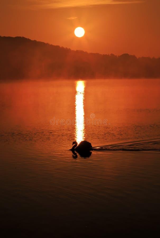 Cisne silueteado en una salida del sol rojiza reflejada en el dep?sito de Ravensthorpe, Ravensthorpe, Northamptonshire imagen de archivo