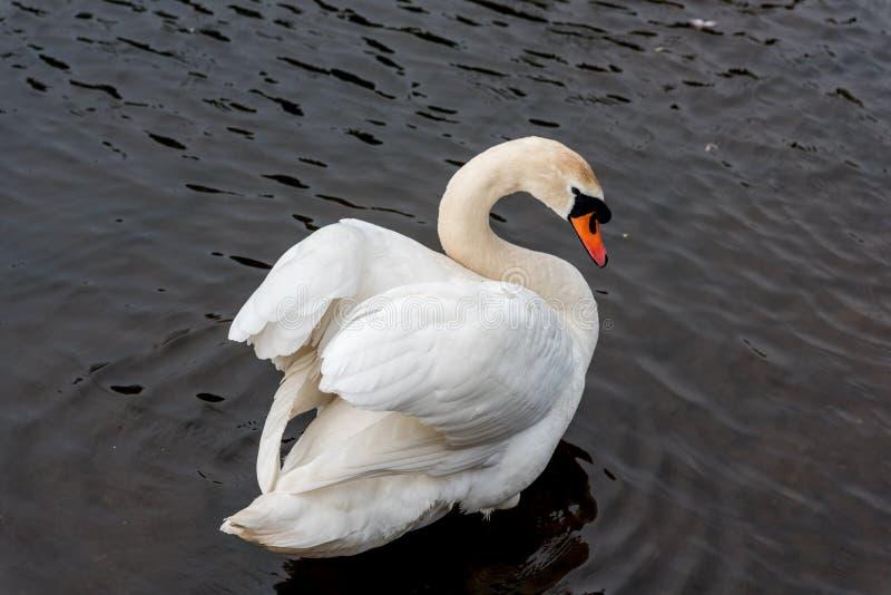 Cisne sobre o ombro imagem de stock royalty free