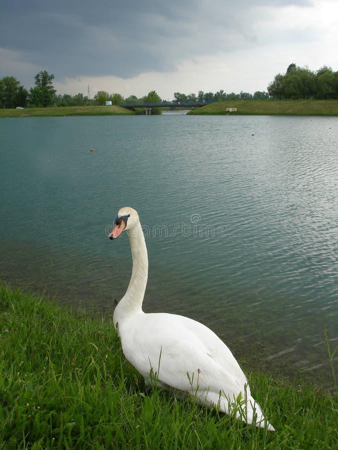 Cisne solitario fotografía de archivo