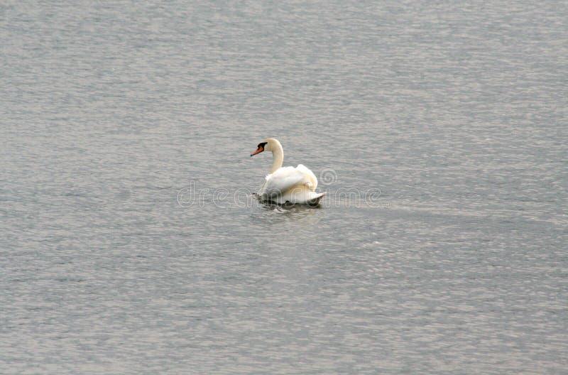 Cisne solo en busca del amor fotografía de archivo