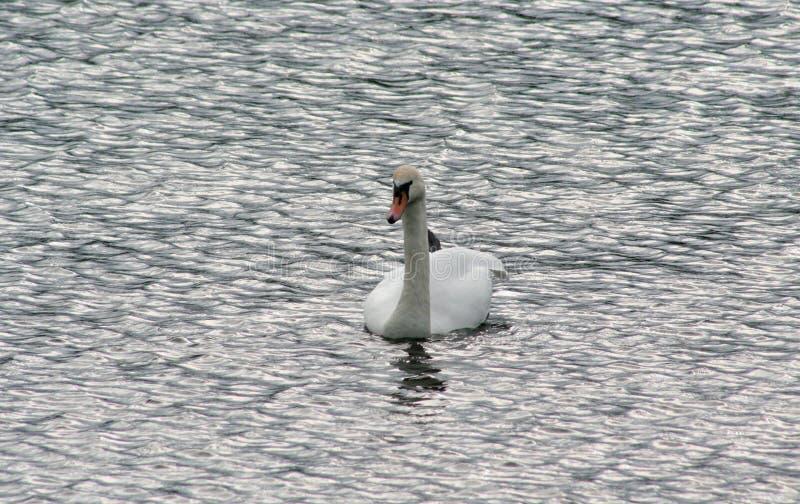 Cisne solo en busca del amor imagen de archivo