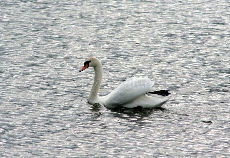Cisne solo en busca del amor foto de archivo
