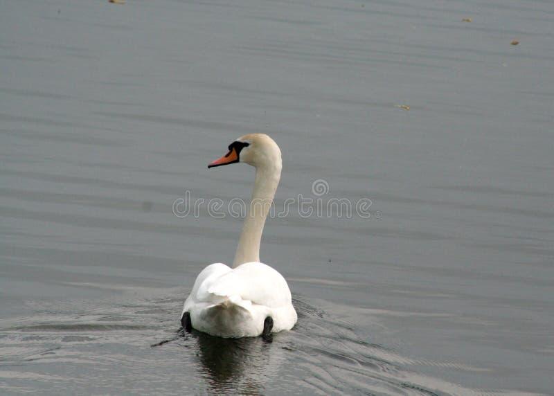 Cisne solo en busca del amor imagen de archivo libre de regalías