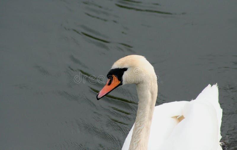 Cisne solo en busca del amor imágenes de archivo libres de regalías