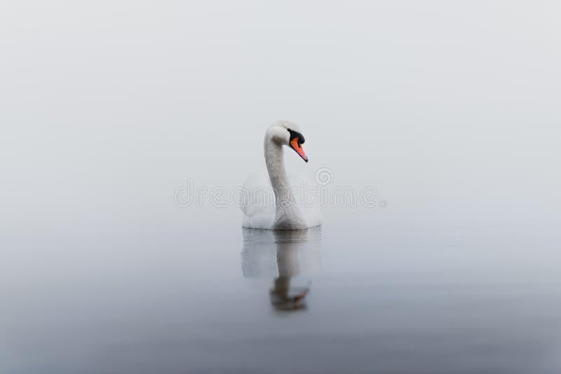 Cisne solo en la niebla imagenes de archivo