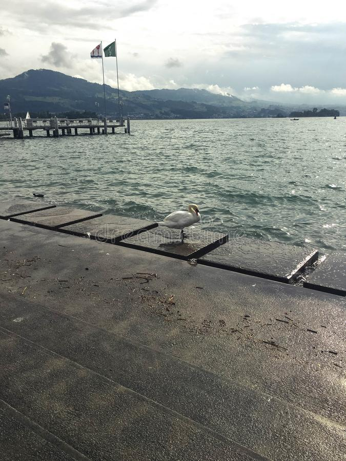 Cisne solo por el lago fotografía de archivo