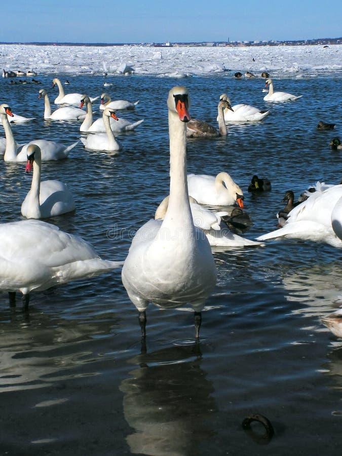 Cisne valeroso fotos de archivo