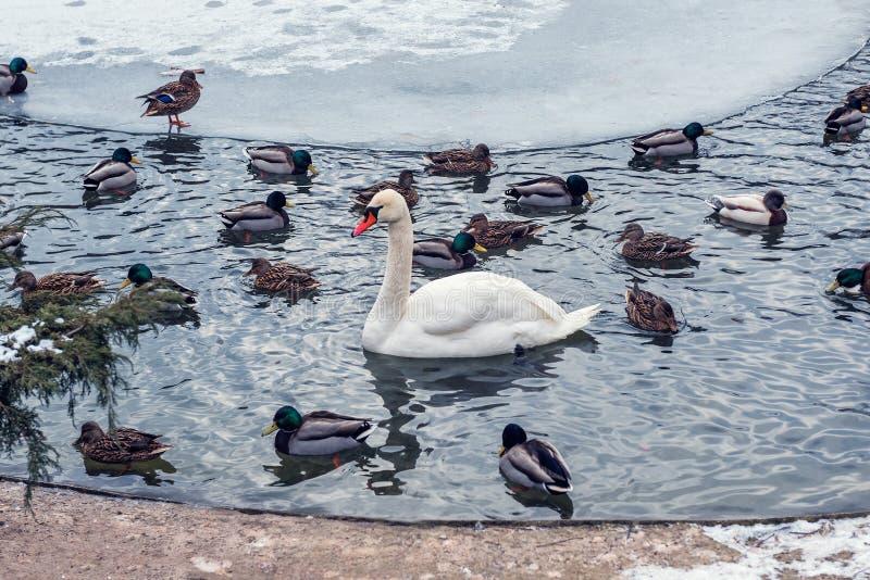Cisne y patos salvajes en invierno fotografía de archivo libre de regalías