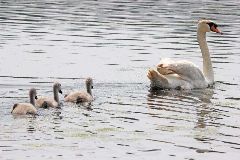 Cisne y pollos del cisne foto de archivo libre de regalías