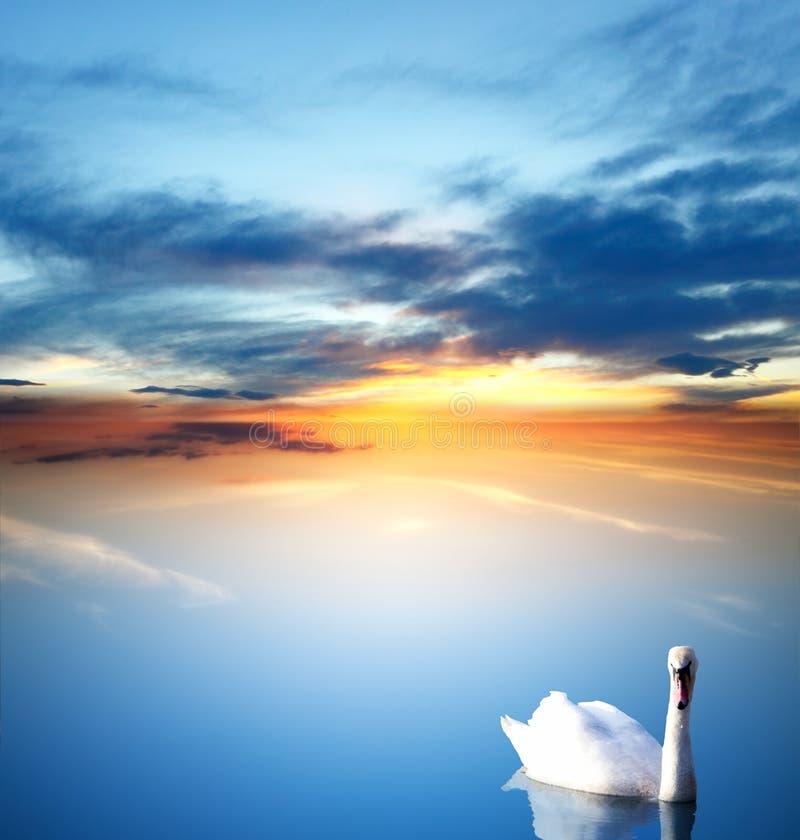Cisne y puesta del sol de oro imagenes de archivo